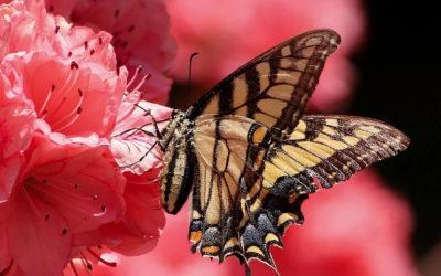 Message du Papillon