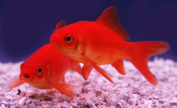 Communication animale avec des poissons rouges les chroniques d 39 arcturius - Poisson rouge gratuit ...