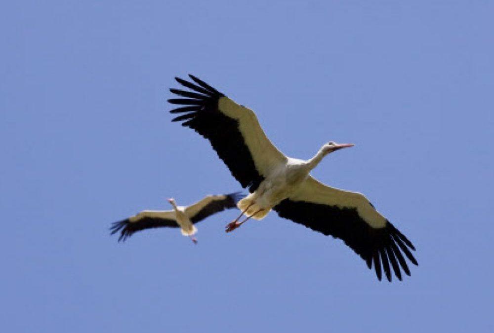 Pourquoi seuls certains oiseaux sont en tête du groupe lors de la migration ?