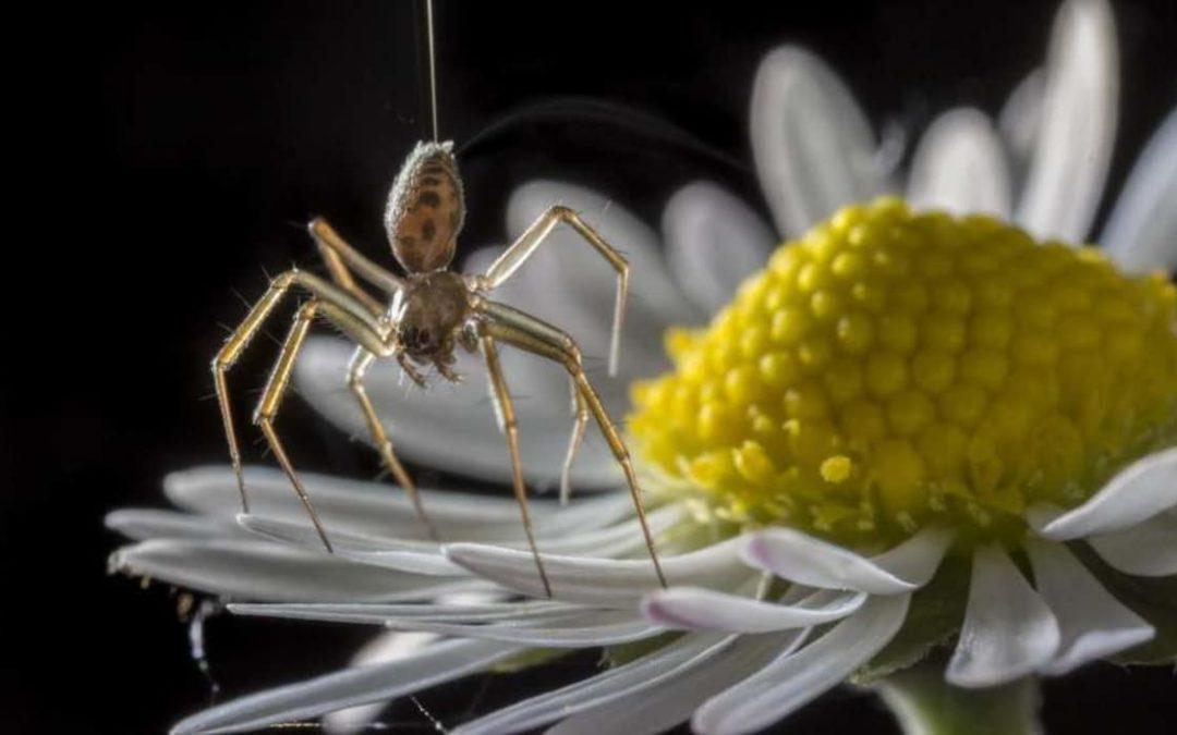 Des araignées utilisent l'électricité pour « voler »