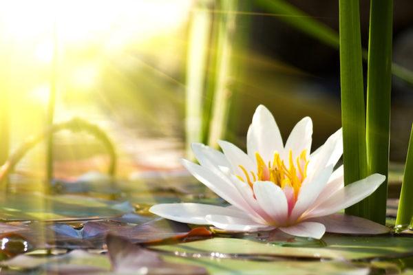 Soyez Comme La Fleur De Lotus Renaissez Chaque Jour Et Imposez