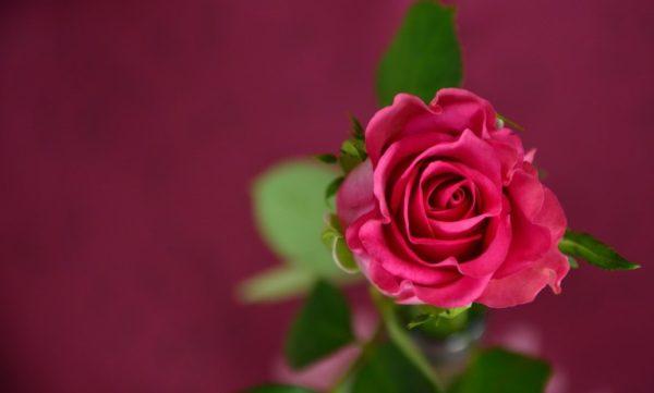 La rose et l'amour (Le Petit Prince)