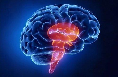 Le tronc cérébral : le tube qui renferme un papillon