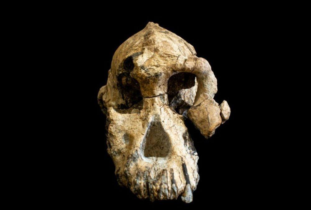 Découverte d'un crâne d'australopithèque plus vieux que Lucy