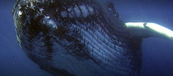 Les baleines à bosse du sud-ouest de l'Atlantique sont de retour
