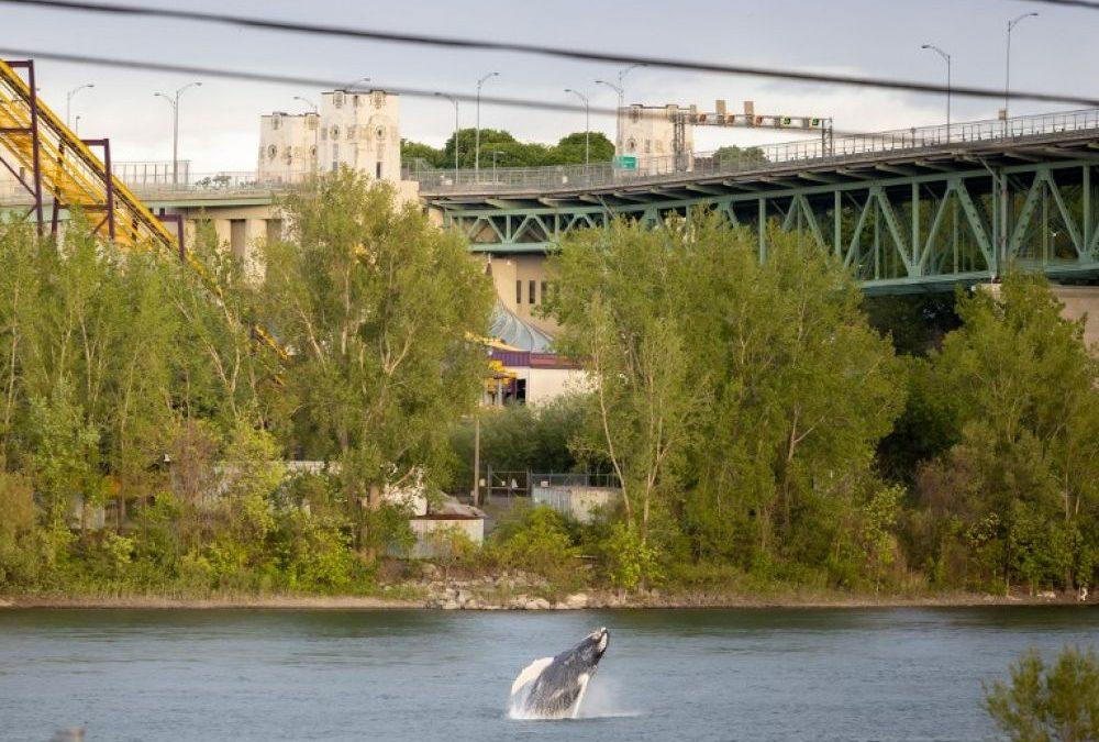 Canada : une baleine à bosse s'égare à Montréal